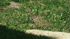 Active Gopher around hole. - stock footage