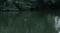 198 Ducks in the river, London Stock Footage