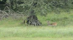 Fallow deers, Dama dama Stock Footage