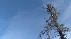 Dead Standing Spruce in Snowy Forest tilt Stock Footage