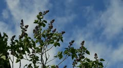 Buds lilac sprigs on background sky Stock Footage