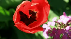 Scarlet tulip flower with lilac flowers sprig on the one flowerbed Stock Footage
