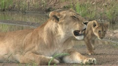 Masai Mara Safari - Lion and Cubs 01 Stock Footage