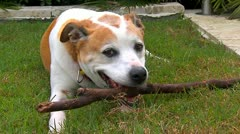 Dog and his stick - stock footage