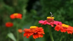 Bee collects nectar on red flower Stock Footage