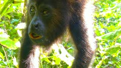 Young monkey eating - stock footage