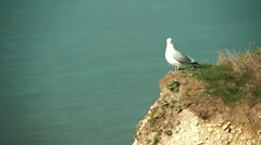 Seagull sitting on a cliff and taking off - stock footage