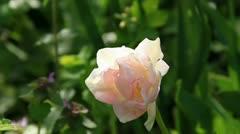 Kinky tulip flower Stock Footage