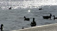 Stock Video Footage of 191 Ducks in the river