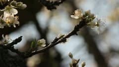 Sloe Flowers 02 Stock Footage
