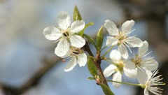 Sloe Flowers 04 Stock Footage