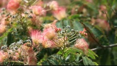Albizia julibrissin Stock Footage