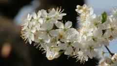 Sloe Flowers 06 - stock footage