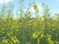 Rape seed yellow plant Stock Footage