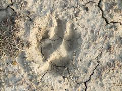 Paw Print in Dried Earth Stock Photos
