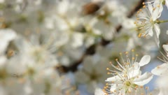 Sloe Flowers 07 Stock Footage