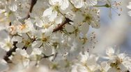 Stock Video Footage of Sloe Flowers 08