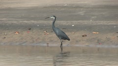 Western reef heron on a beach in The Gambia Stock Footage