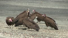 Lappet-faced Vulture on a beach in The Gambia, West Africa. - stock footage