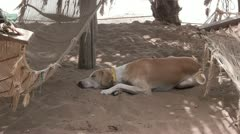 Dog resting on a tropical beach next to a hammock. Stock Footage