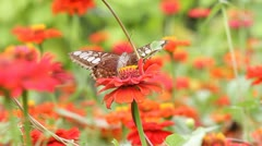 Butterfly collects nectar on red flower Stock Footage