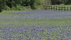 Bluebonnet Field Stock Footage