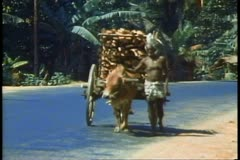 Sri Lanka, a man leads an ox cart piled high Stock Footage