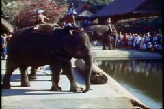 The elephants of the Rose Garden in Bangkok curling their trunks Stock Footage