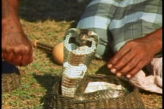 Stock Video Footage of A snake charmer in Sri Lanka charms a cobra