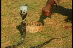 A snake charmer in Sri Lanka charms a cobra Stock Footage