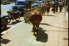 A Brahma Cow wanders aimlessly down a street in Madras, India Stock Footage