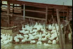 The New Territories, Hong Kong, duck farm, raising Peking Ducks Stock Footage