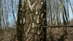 Hammer in birch trunk tap for sap Stock Footage