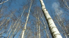 Birches on blue sky and camera rotate Stock Footage