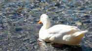 White Duck Cleaning Itself Stock Footage