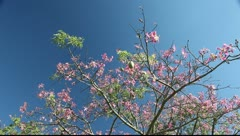 Floss-silk tree in Iguazu in Brazil Stock Footage