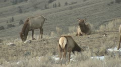 P01793 Elk Herd at Yellowstone National Park in Winter Stock Footage