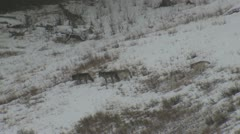 P01795 Yellowstone Wolf Pack Walking in Snow Stock Footage