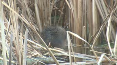 P01799 Muskrat in Wetland Stock Footage