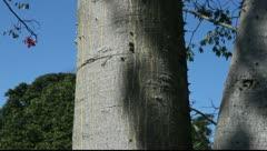 Floss-silk tree in Iguazu in Brazil Stock Footage