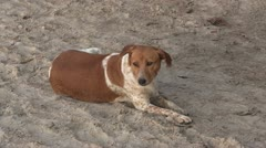 Dog on a  sandy beach in The Gambia Stock Footage