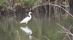 Great white egret  in The Gambia, West Africa. Stock Footage
