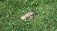 Stock Video Footage of Mouse caught in a trap
