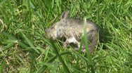 Stock Video Footage of Mouse in grass