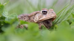 Toad sitting in grass jumps Stock Footage