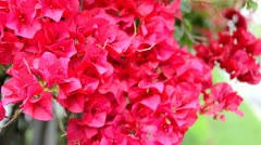 Assorted Red / Pink Flower Blossoms 3 Stock Footage
