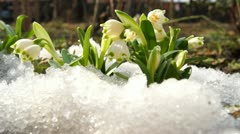 Stock Video Footage of melt snow and snowdrops