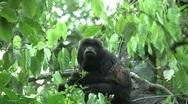 HD wild mantled howler monkey (Alouatta palliata) 18 eating in the wild Stock Footage