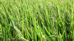 Rice field Stock Footage