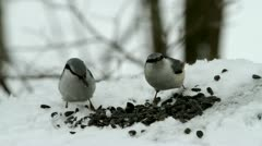 Two nuthatches Stock Footage